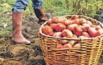 Сорта картофеля для тяжелых почв