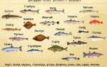 Сорта морской рыбы список