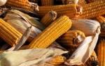 Сорта кукурузы на зерно