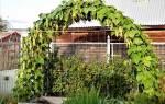 Спаржевая фасоль выращивание и уход сорта