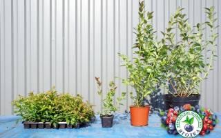 Сорта голубики садовой в белоруссии