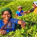 Сорта индийского чая