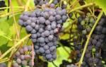 Сорта винограда поздние