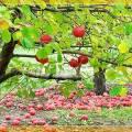 Сорта яблони на урале