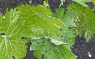 Сорта винограда филлоксероустойчивые
