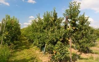 Сорта яблони на карликовом подвое для подмосковья