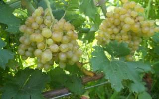 Сорта винограда для полтавской области