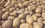 Сорта картошки для урала