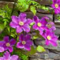 Сорта и виды клематис