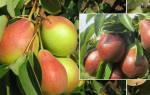 Сорта груши устойчивые к парше