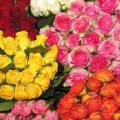 Сорта роза кения