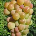 Сорта винограда прибалтийские