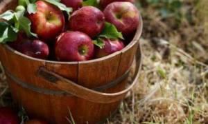 Стелющиеся яблони для сибири сорта