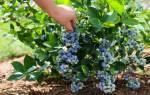 Сорта голубики садовой описание