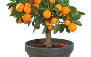 Сорта комнатных цитрусовых растений