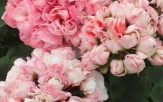 Сорта тюльпановидных пеларгоний