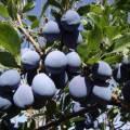 Сорта чернослив