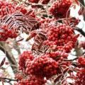 Сорта плодовой рябины