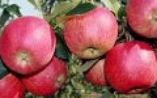 Сорта яблок на кубани