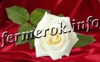 Сорта роз белых