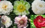 Сорта пионов позднего срока цветения