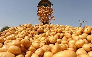 Сорта картофеля для днепропетровской области