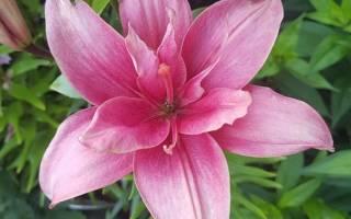 Сорта лилии пахучие