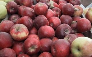 Старый сорт яблок сахарка