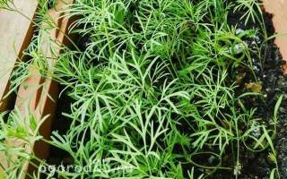 Сорта укропа для выращивания на подоконнике