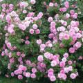 Сорта роз для начинающих садоводов