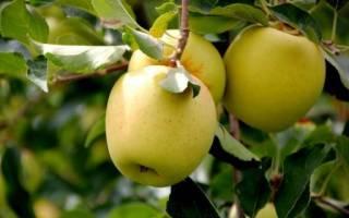 Сорта яблок голден