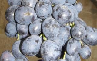 Сорта винограда среднепоздние