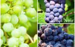 Сорта винограда шампанское
