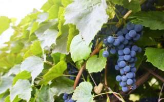 Сорта винограда устойчивые к болезням