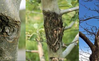 Сорта яблонь устойчивые к черному раку