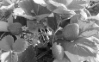 Сорта клубники для промышленного выращивания