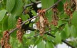 Сорта вишни устойчивые к коккомикозу и монилиозу