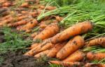 Сорта моркови на хранение для урала
