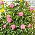 Сорта роз для сибири