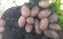 Сорта картофеля на кубани