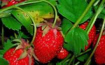 Сорта клубники непрерывного плодоношения