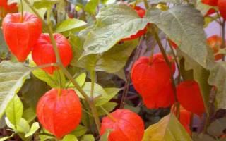 Сорта овощного физалиса