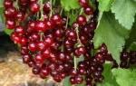 Сорта красной смородины новые