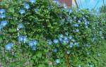 Сорта ипомеи цветок