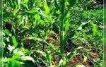 Сорта кукурузы для сибири открытый грунт