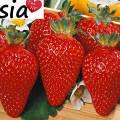 Сорта клубника азия