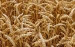 Твердый сорт пшеницы это