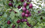 Спартан яблони сорта