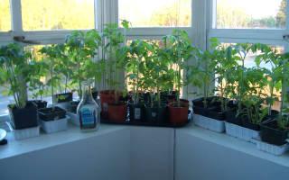 Сорта томаты на подоконнике
