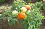 Сорта помидор без пасынкования для открытого грунта